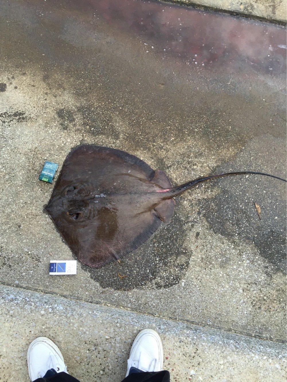 にぃにぃさんの投稿画像,写っている魚はアカエイ