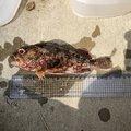 さかもとっぷけいさんの神奈川県でのカサゴの釣果写真