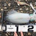 しょーさんの富山県での釣果写真