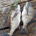 ケツがブリトニーさんの大分県佐伯市でのクロダイの釣果写真