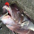 USSD20さんの新潟県での釣果写真