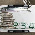 だるまさんの新潟県でのシロギスの釣果写真