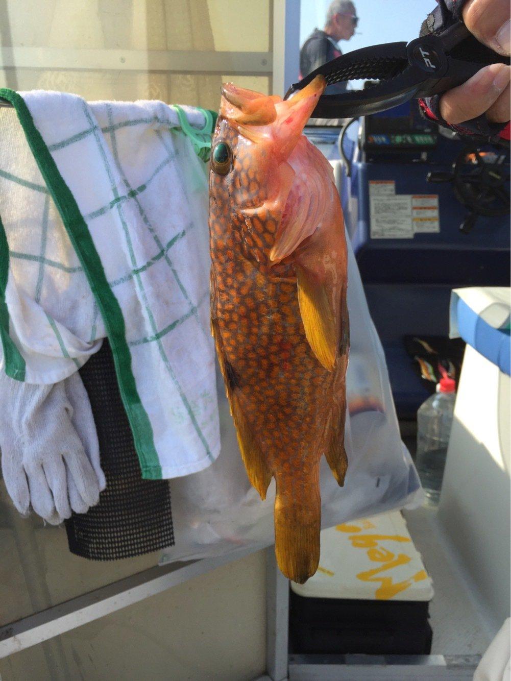 surfさんの投稿画像,写っている魚はキジハタ