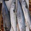 あっちゃんさんの山形県での釣果写真