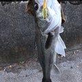 たけしさんのスズキの釣果写真