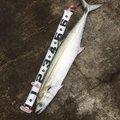 hさんの千葉県千葉市でのサワラの釣果写真