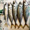 🔰トキキ🔰さんの鹿児島県阿久根市での釣果写真