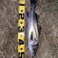まさのりさんの鹿児島県薩摩川内市でのスズキの釣果写真