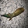 コピパさんの福岡県でのアオリイカの釣果写真