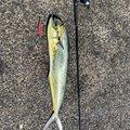 釣り人Rさんのシイラの釣果写真