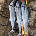 ムキムキ釣ジャンキーさんの福井県敦賀市での釣果写真