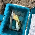 釣りしたいさんのロウニンアジの釣果写真