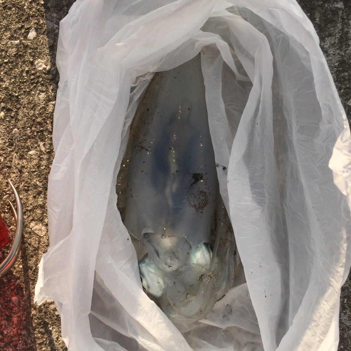 がさちんさんの投稿画像,写っている魚はアオリイカ