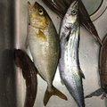 ユウスケさんの山口県長門市での釣果写真