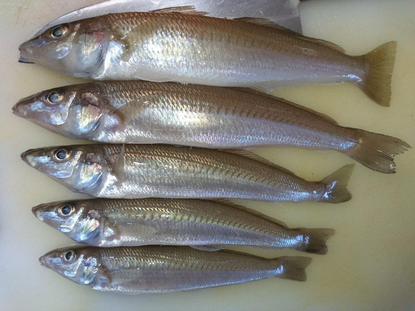 りゅうさんの投稿画像,写っている魚はシロギス