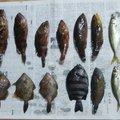 はとぽっぽさんの兵庫県洲本市での釣果写真