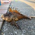 Yuta さんのオニオコゼの釣果写真