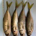 慎さんの三重県尾鷲市での釣果写真