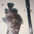 カチュアさんのキツネメバルの釣果写真