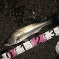 ☆又吉☆さんの東京都でのスズキの釣果写真