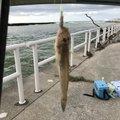 こうじさんの石川県白山市での釣果写真