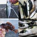 リサさんの静岡県でのマサバの釣果写真