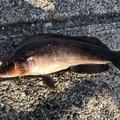 宮本明さんの北海道小樽市での釣果写真