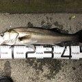 dappiさんの神奈川県藤沢市での釣果写真