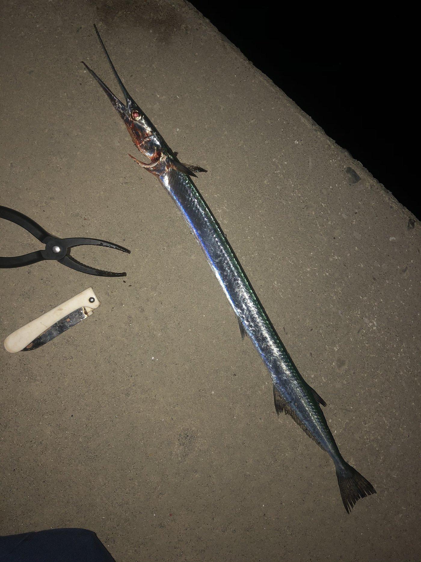 Shuさんの投稿画像,写っている魚はダツ