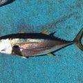 gonzuimaniacさんの沖縄県島尻郡でのキハダマグロの釣果写真