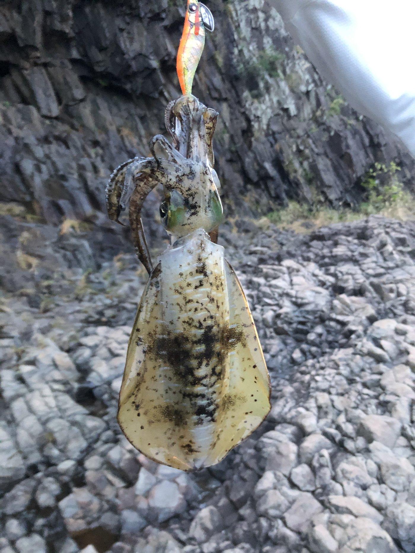 TDMAさんの投稿画像,写っている魚はアオリイカ