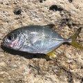 ムッシューむらむらさんの沖縄県浦添市での釣果写真