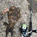 タラオさんの新潟県新潟市でのアオリイカの釣果写真