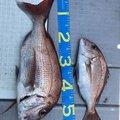 たかぴろさんの鹿児島県出水郡での釣果写真