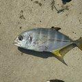 takaさんのギンガメアジの釣果写真