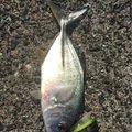 大五郎さんの鹿児島県大島郡でのギンガメアジの釣果写真