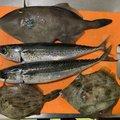 かーずさんの神奈川県でのマサバの釣果写真