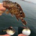 龍樹さんの兵庫県でのカサゴの釣果写真