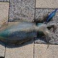 ja8ualさんの愛媛県松山市での釣果写真