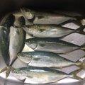アン助さんの青森県三沢市での釣果写真