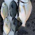 サーーラさんの高知県高知市での釣果写真
