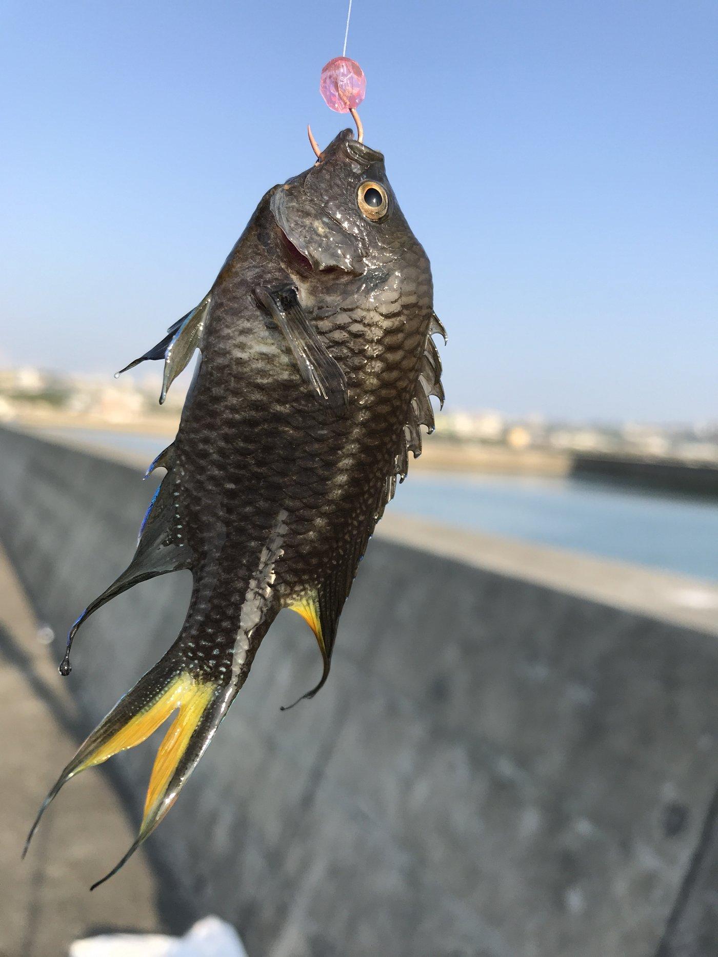BBAさんの投稿画像,写っている魚はスズメダイ