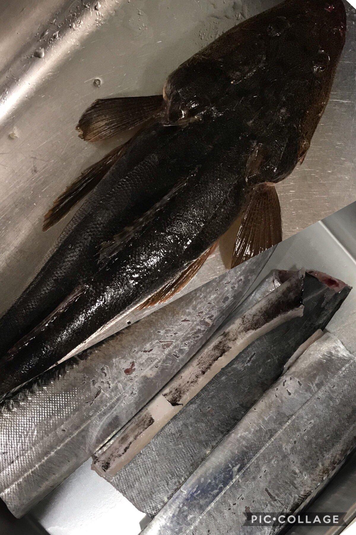 だーよしさんの投稿画像,写っている魚はコチ,タチウオ