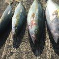 ちゃーりんさんの山口県防府市での釣果写真