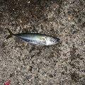 ホスッピイさんの大阪府貝塚市での釣果写真