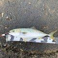 ククルさんの三重県四日市市でのブリの釣果写真