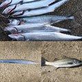 銀次郎さんの新潟県新潟市でのタチウオの釣果写真
