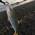 YASUさんの静岡県でのブリの釣果写真
