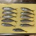 めださんの青森県三沢市での釣果写真