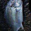 梅宮さんのキチヌの釣果写真